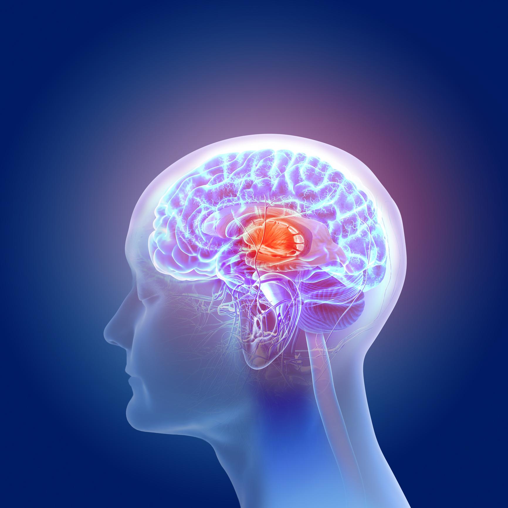 3d illustration of the human brain anatomy